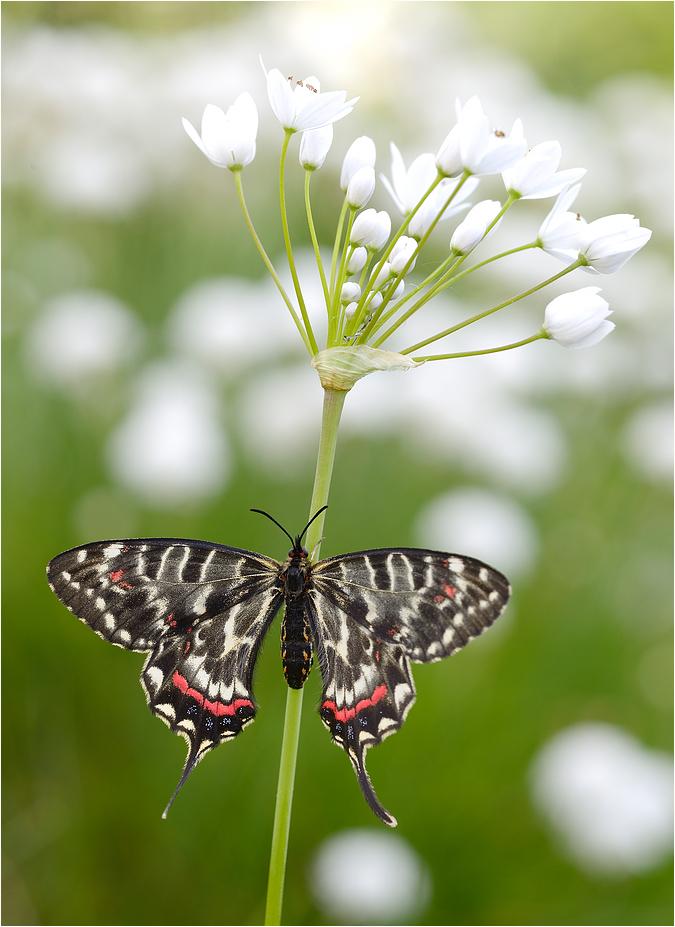 Dragon Swallowtail