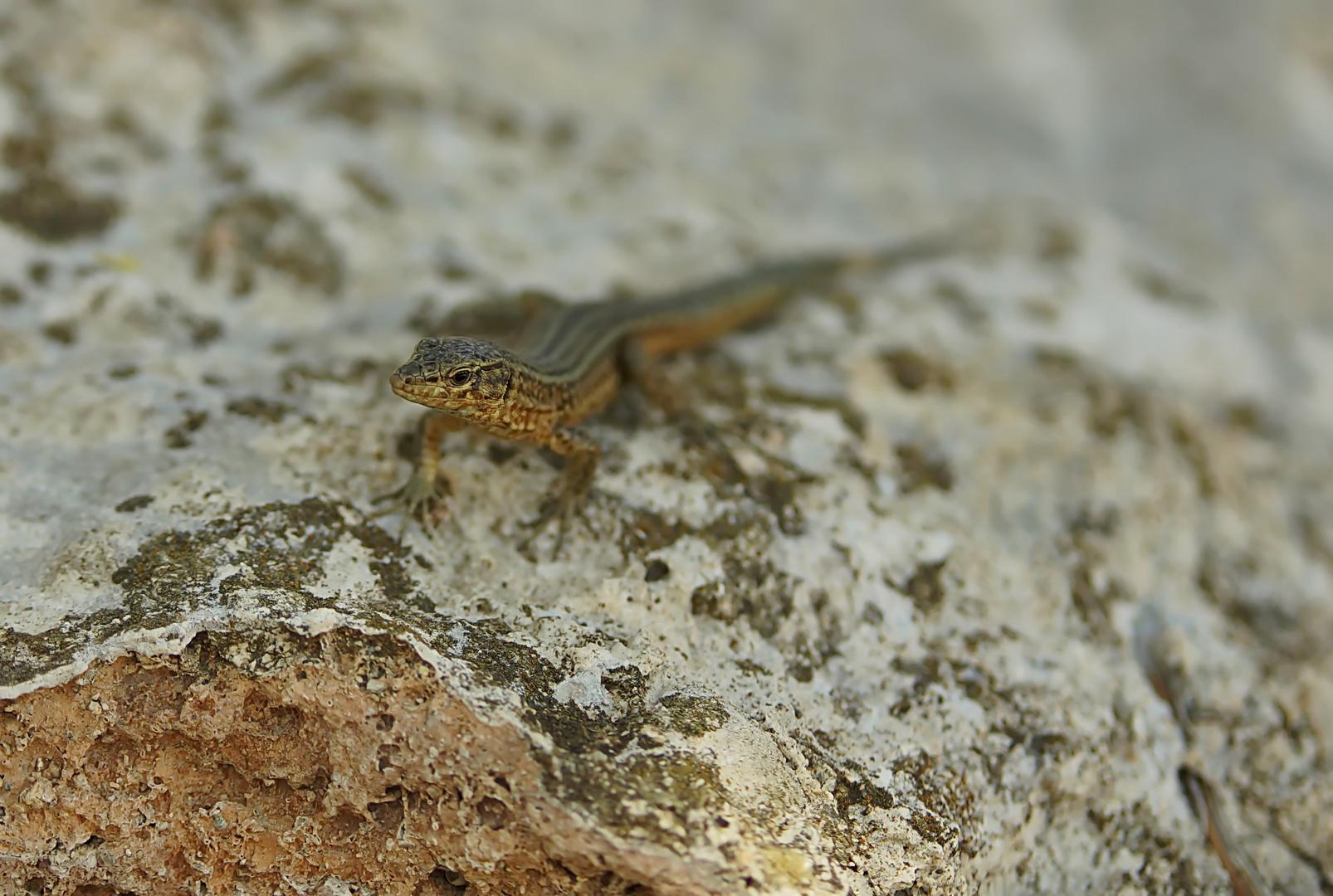 Dragonera-Eidechse (Podarcis lilfordi ssp. giglioli)