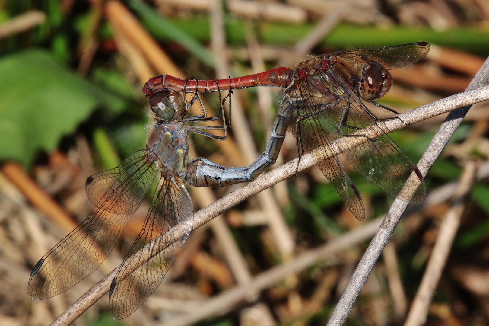 ..Dragonflies...