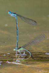 Dragonflies in love (2)
