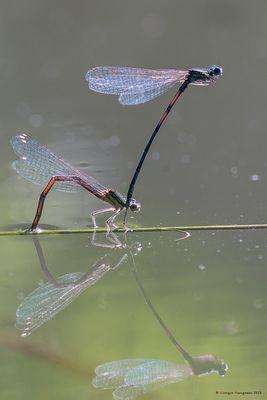 Dragonflies in love (3)