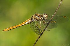 Dragonfly #19
