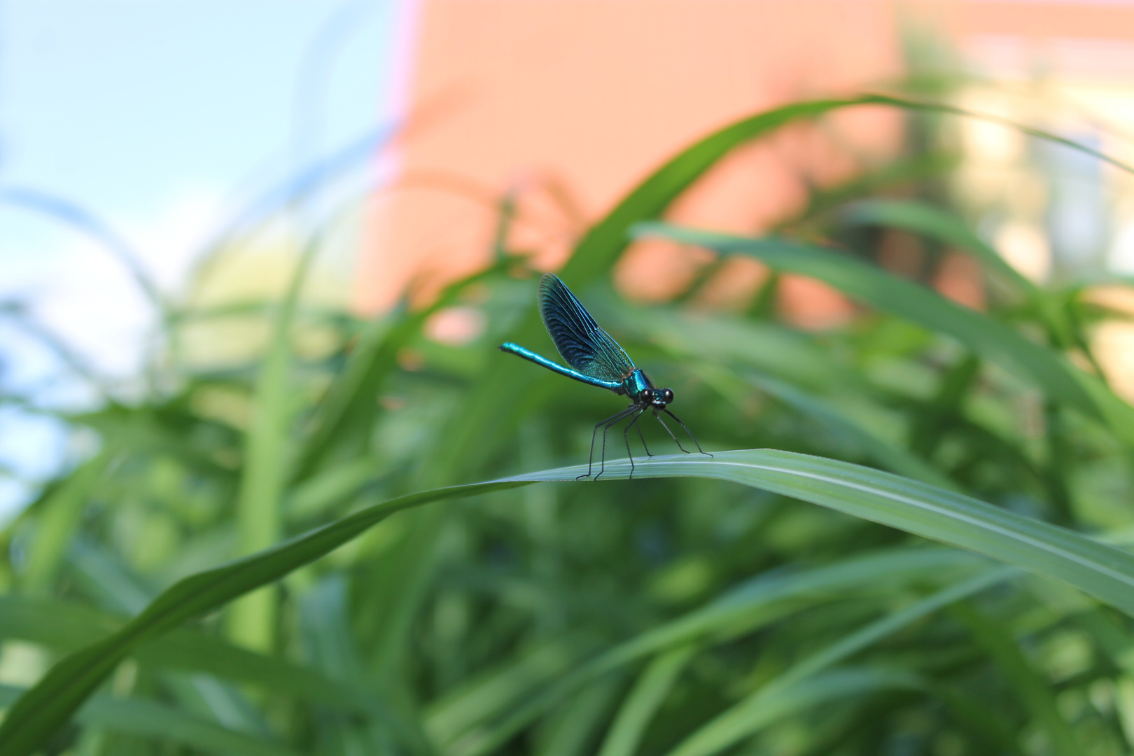 Dragonfly an der Spree
