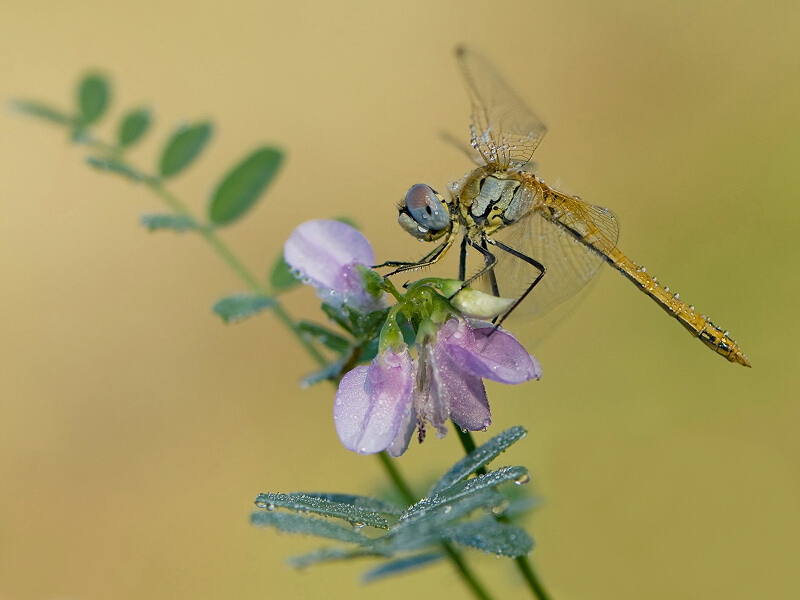 Dragonfly and a flower