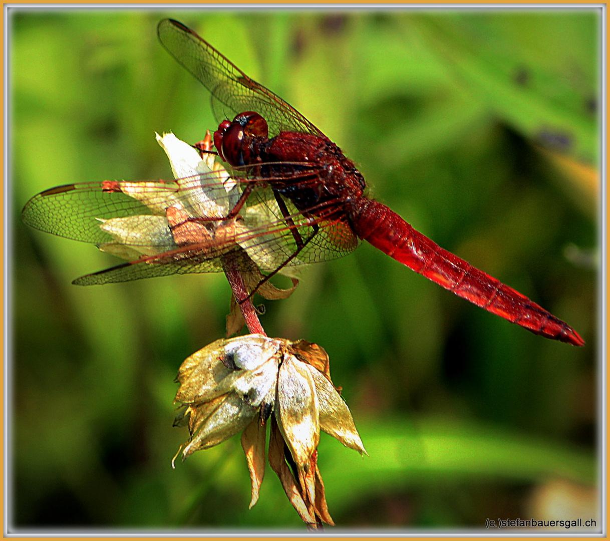 """""""Dragonfly III."""""""