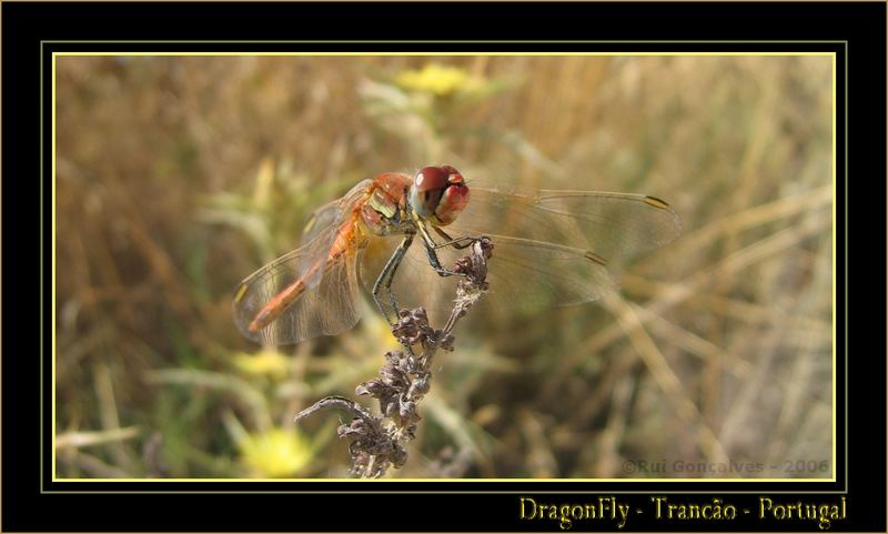 Dragonfly in Trancão Riverside