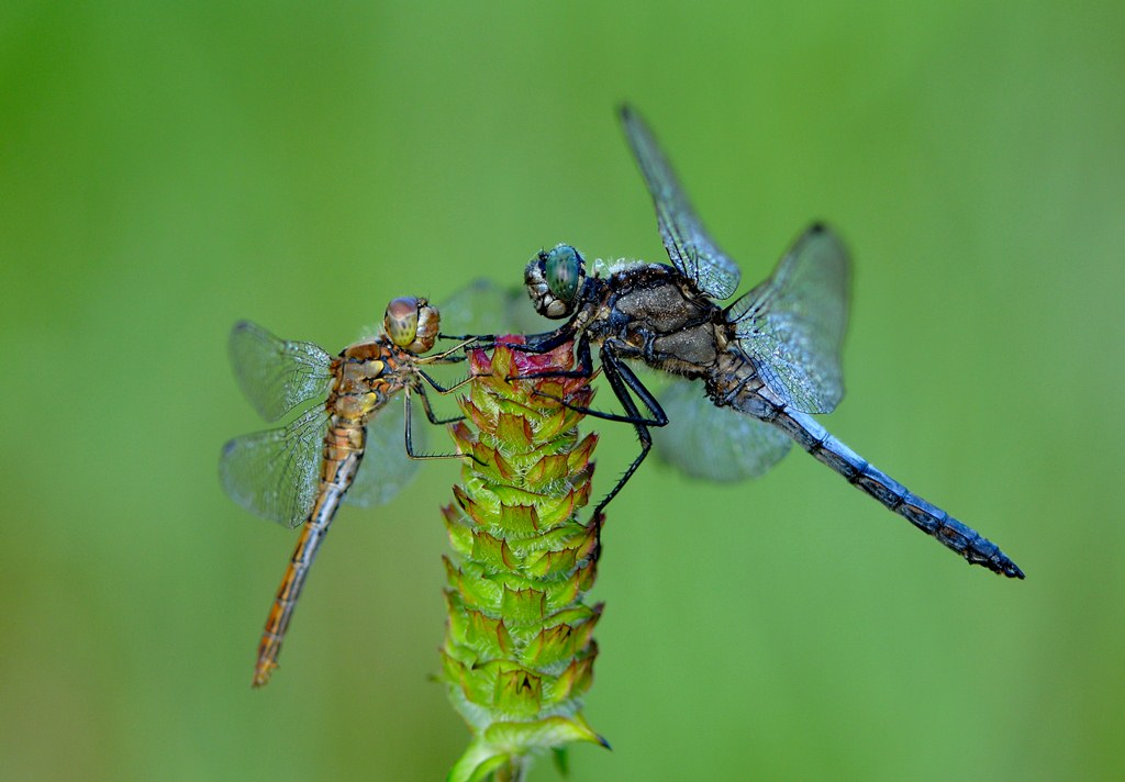 dragonfly meeting