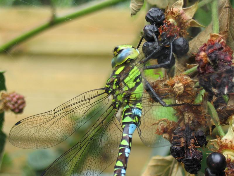 Dragonfly on a blackberry