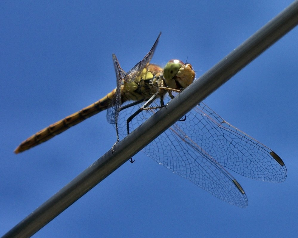 Dragonfly on clothesline