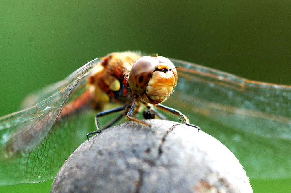 Dragonfly shooting 2/2