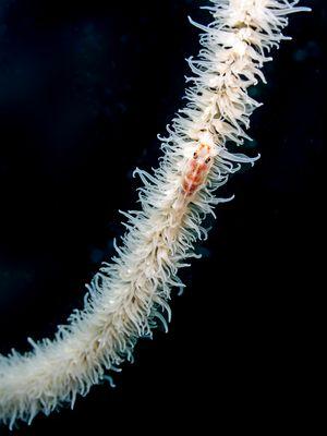 Drahtkorallen-Zwerg-Grundel (Bryaninops loki)