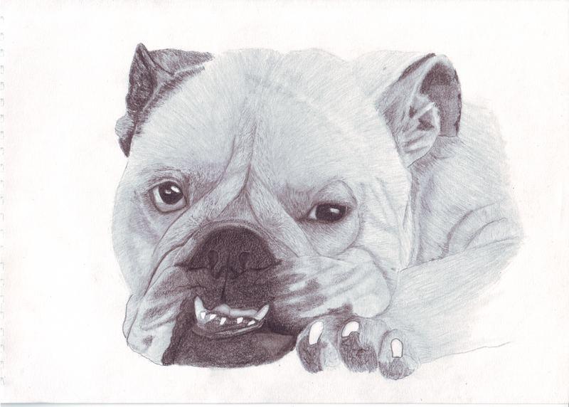 drawing bulldog