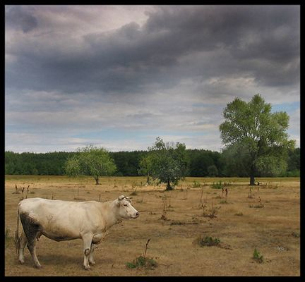 .:: Dream About Cow ::.