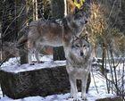 Dream Team Grauwolf :-)