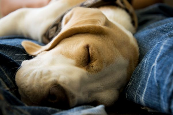 Dreamin' - Beagle Abilou