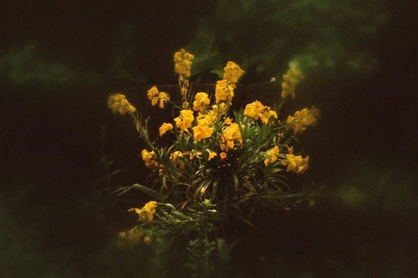 Dreaming Flowers