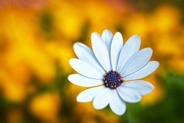 "dreamy flowers ""Kapkörbchen (Osteospermum)"""