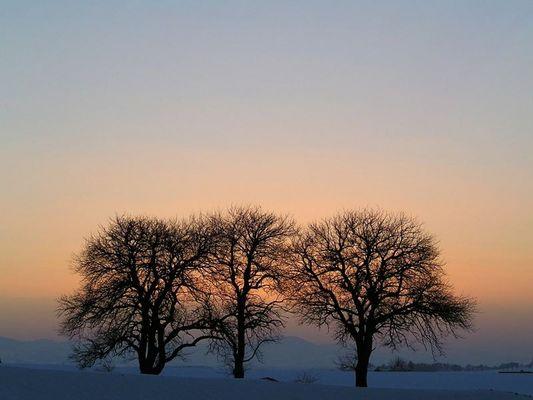 drei alte Mostbirnbäume