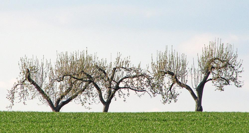 Drei Bäume (c)