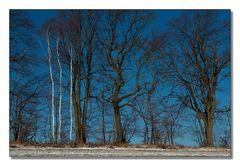Drei Birken im Winter
