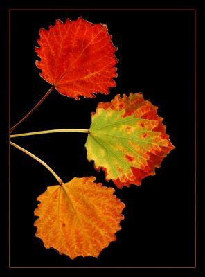 Drei Blätter Herbst (1)
