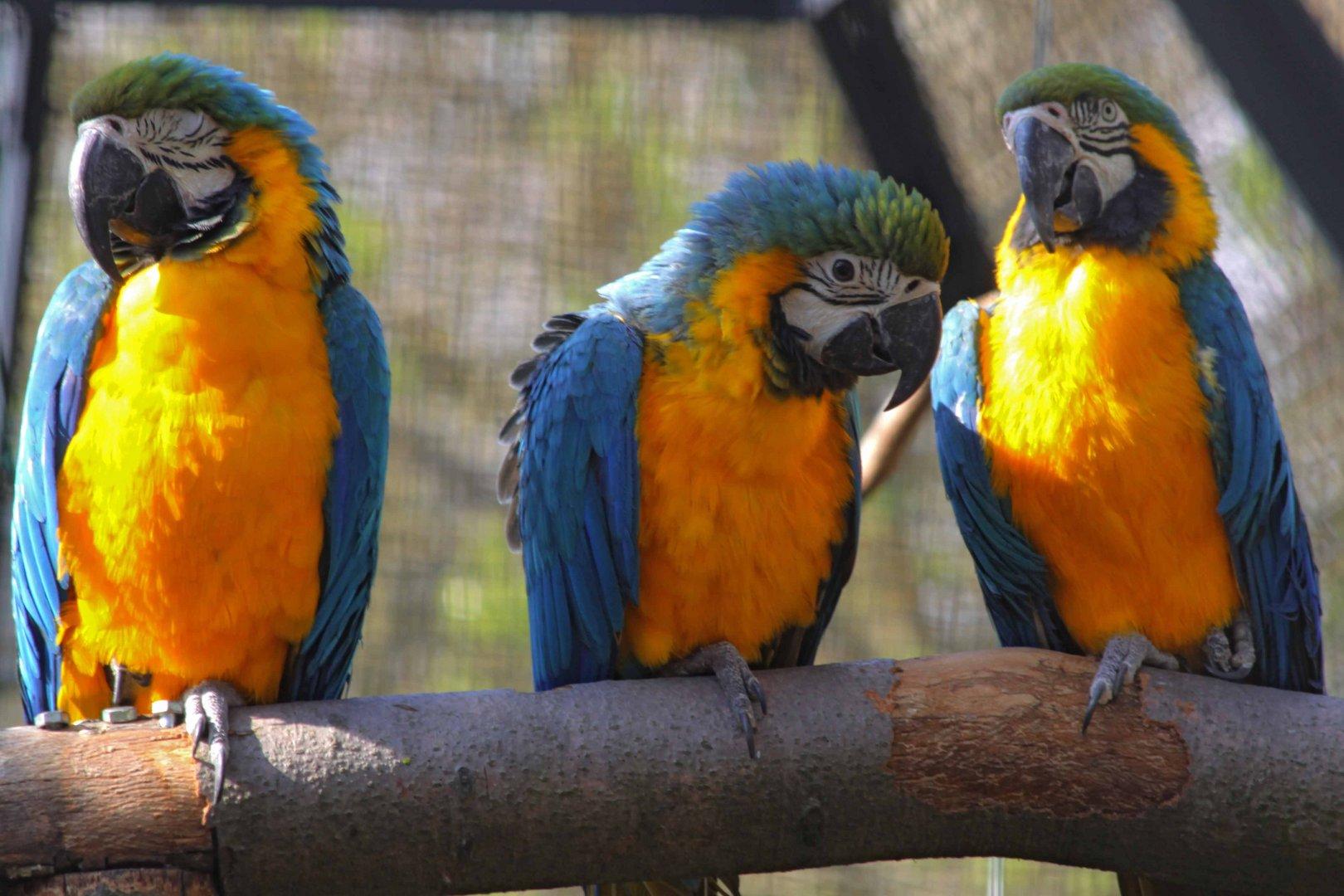 Drei bunte Papageien..