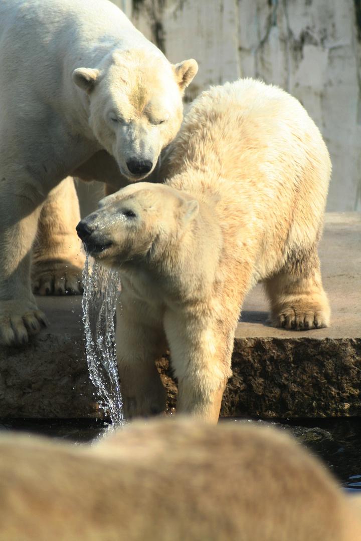 Drei Eisbären