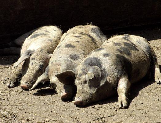 Drei feine Schweine !