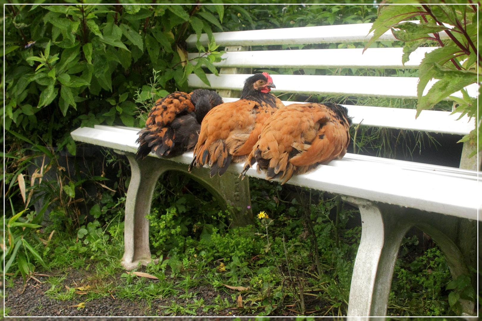 Drei Hühner auf einer Bank.