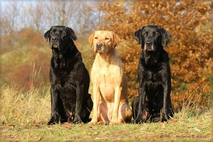 Drei Labrador Retriever