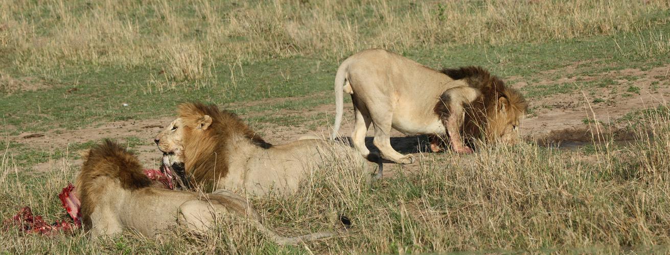 Drei Löwenmännchen