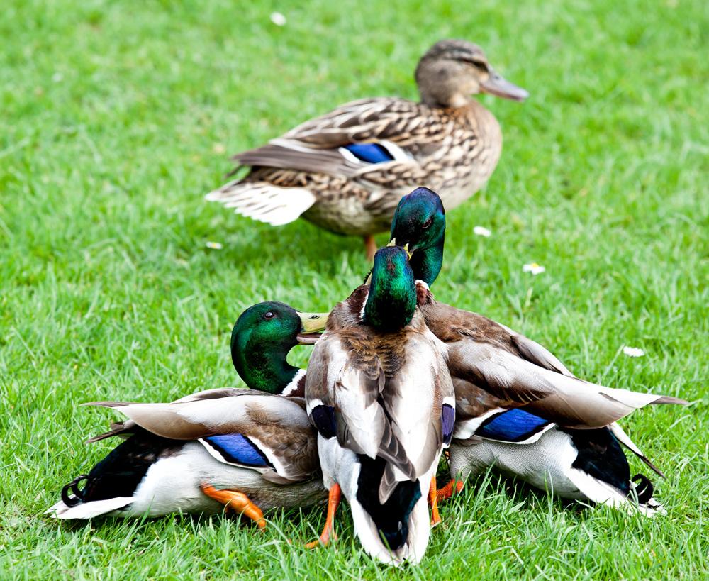 Drei Rivalen kämpfen um eine Ente