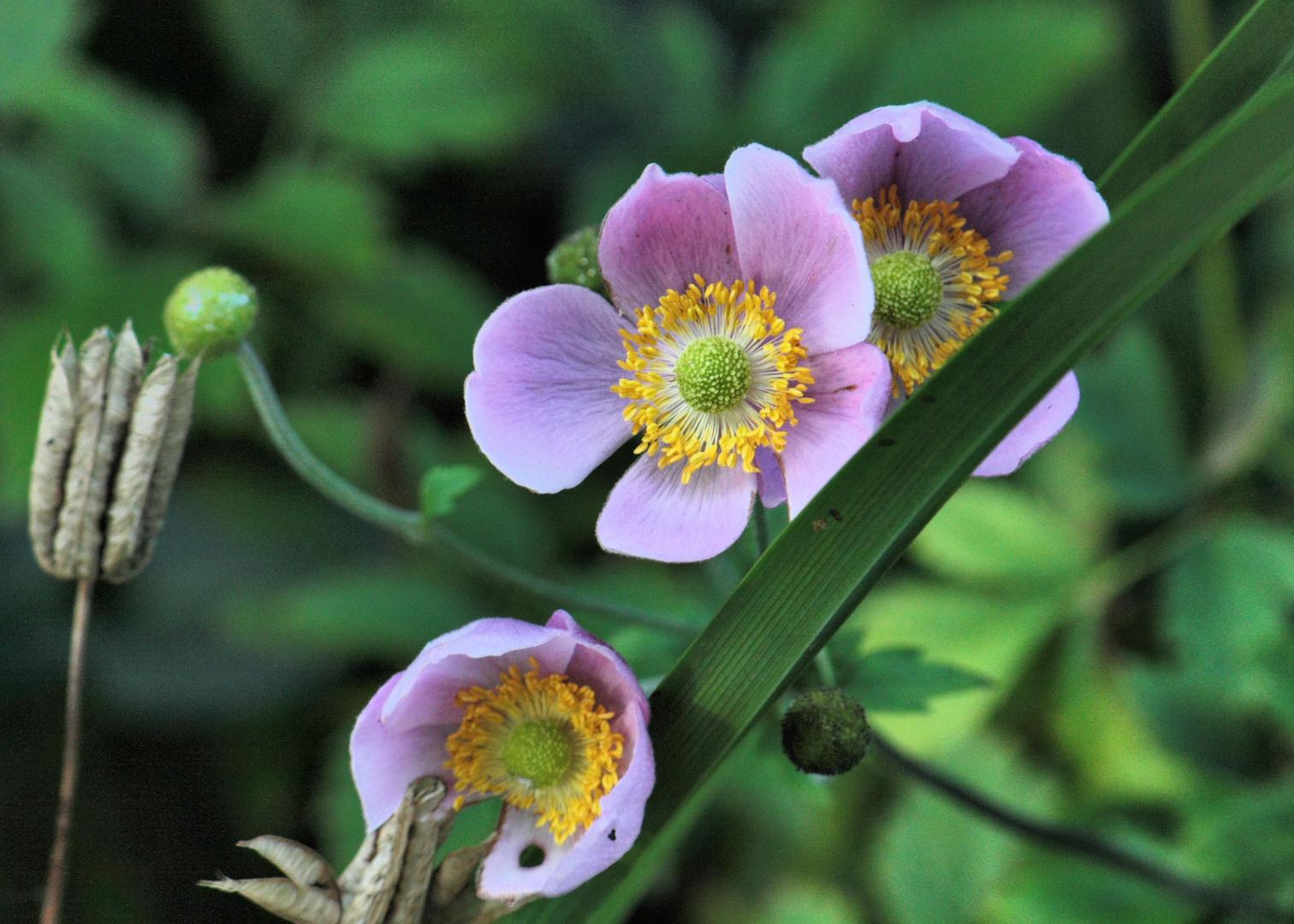 drei rosa Blüten