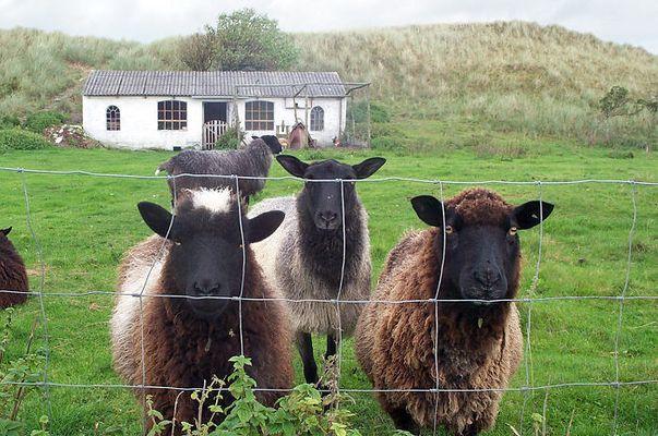 Drei Schafe und ihr Eigenheim