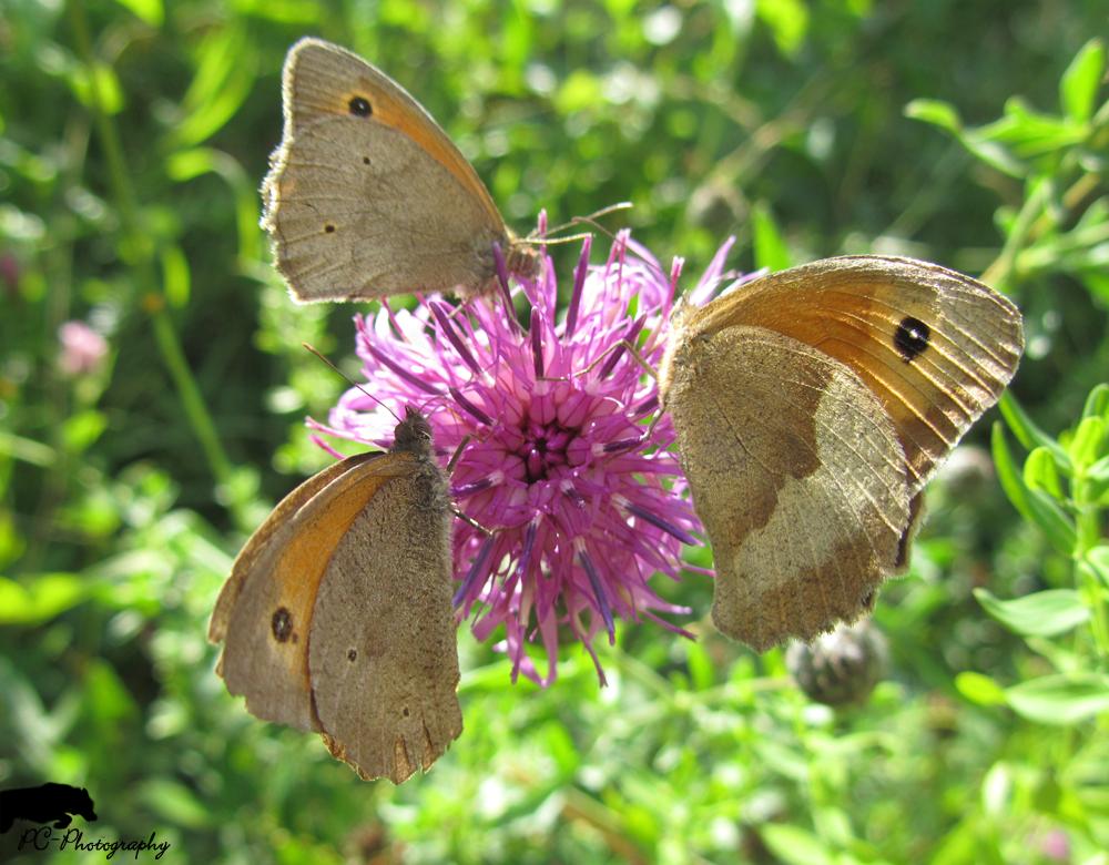 Drei Schmetterlinge auf einer Blume