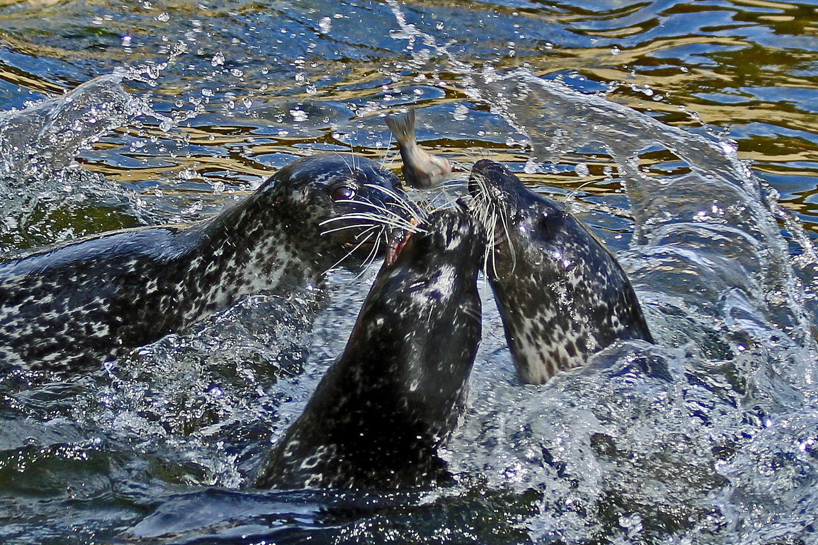 Drei Seehunde und ein Fisch