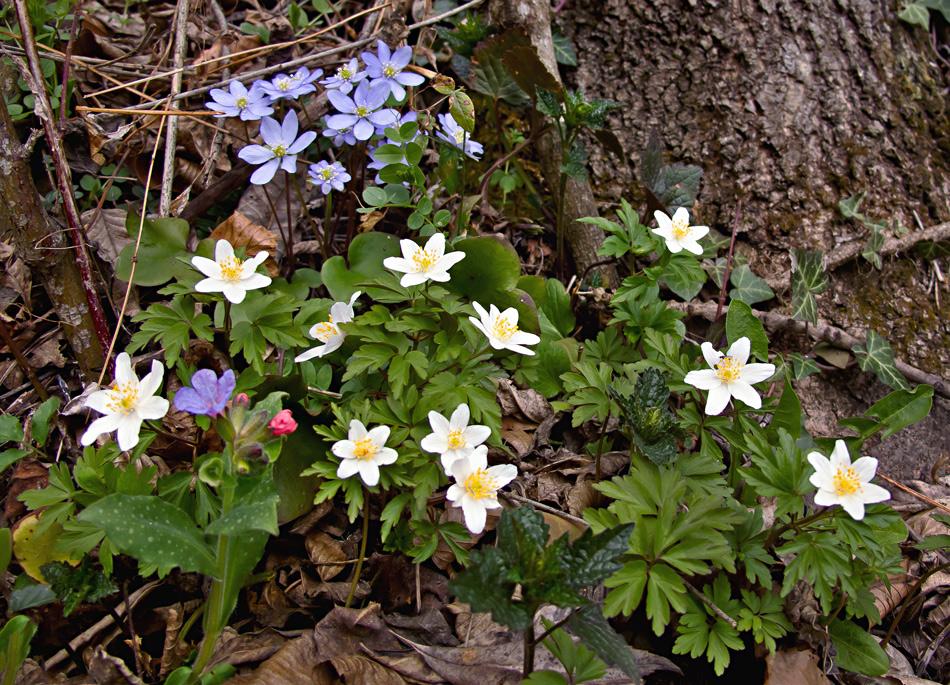Drei verschiedene Waldblumen auf einen Streich!
