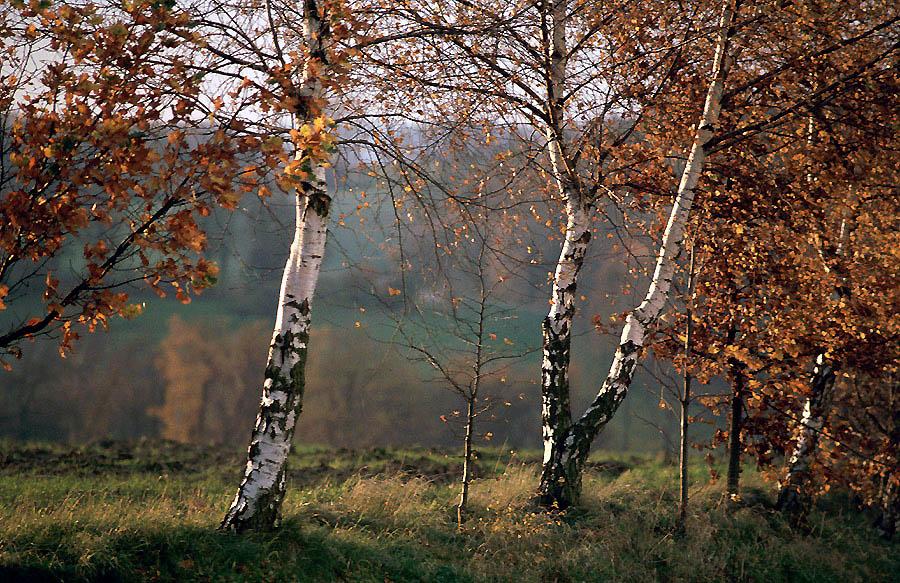 Drei weiße Birken...................