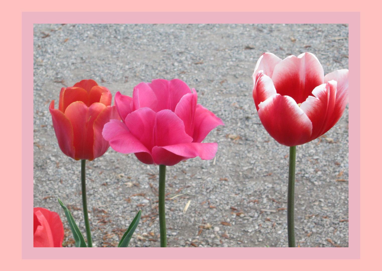 Drei zauberhafte Tulpen