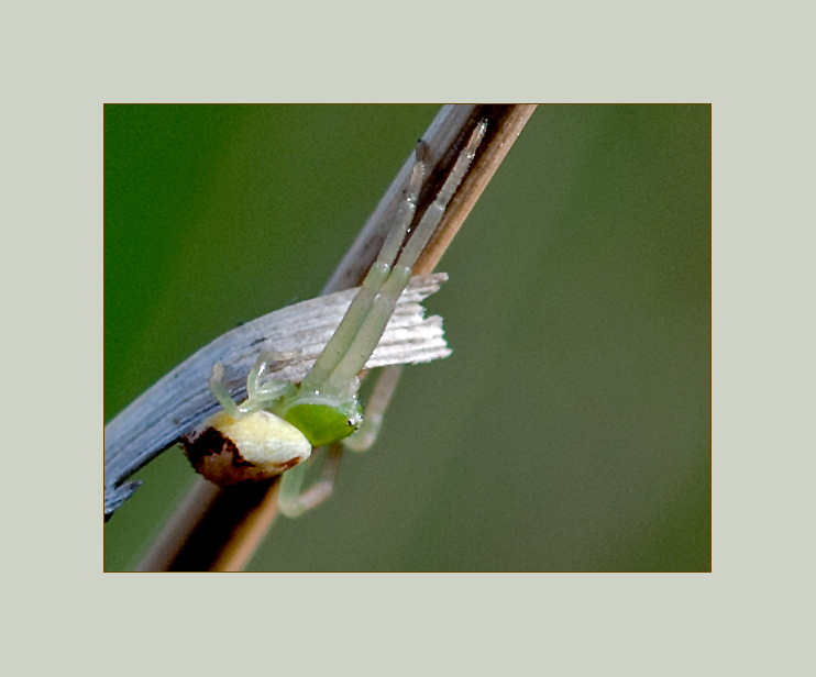 Dreieck-Krabbenspinnenbaby