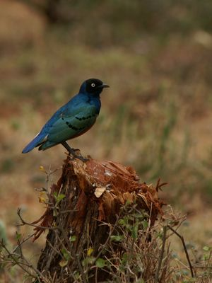 Dreifarben-Glanzstar (Lamprotornis chalybaeus), Äthiopien 2006