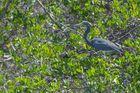 Dreifarbenreiher (Egretta tricolor), in der Nähe von La Cruz, Costa Rica