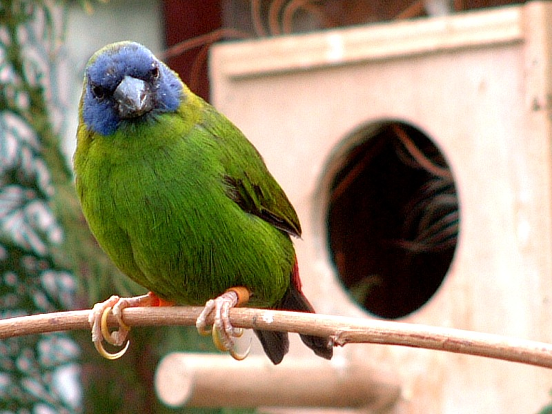 Dreifarbige-Papageiamadine