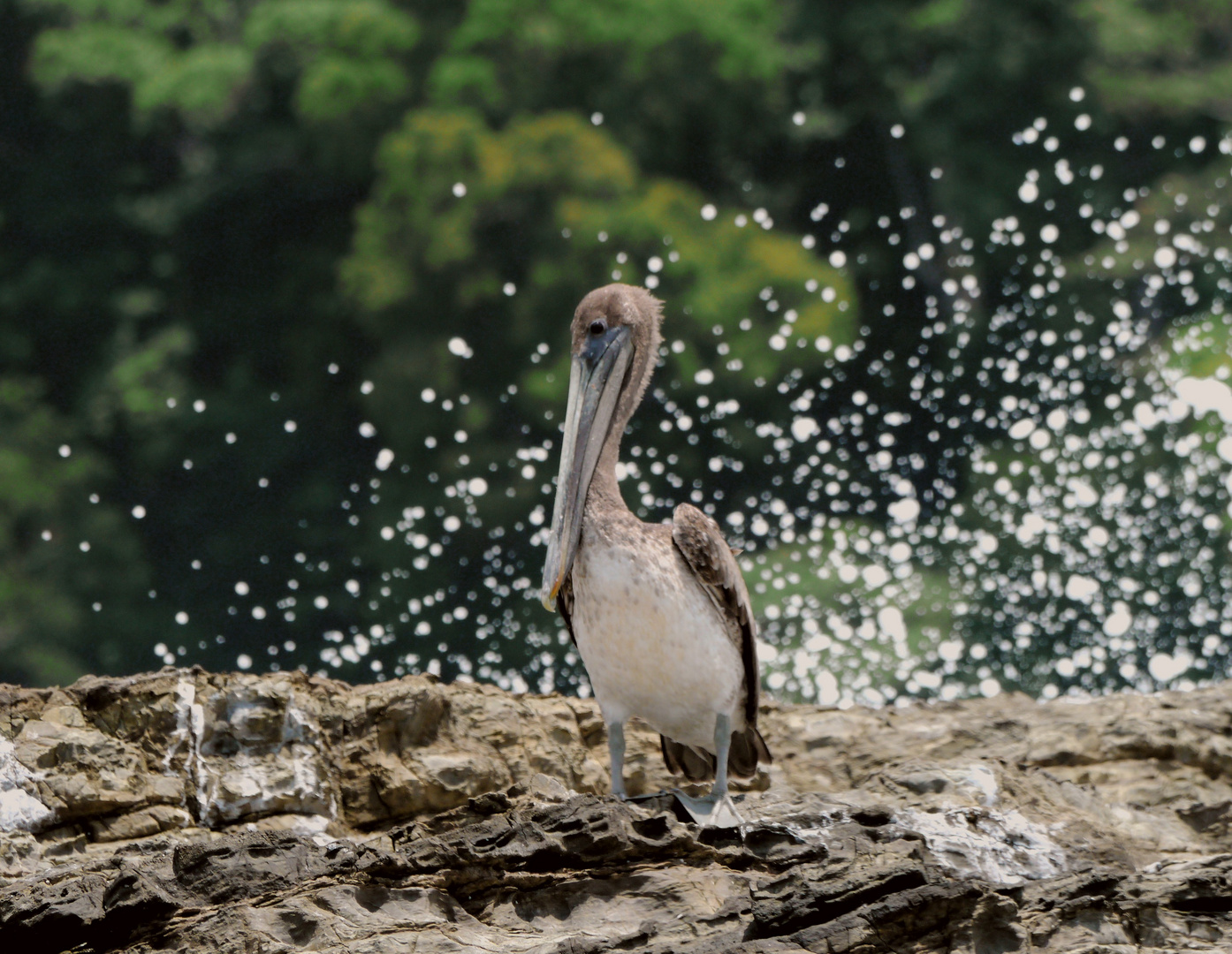 Dreifarbiger Pelikan
