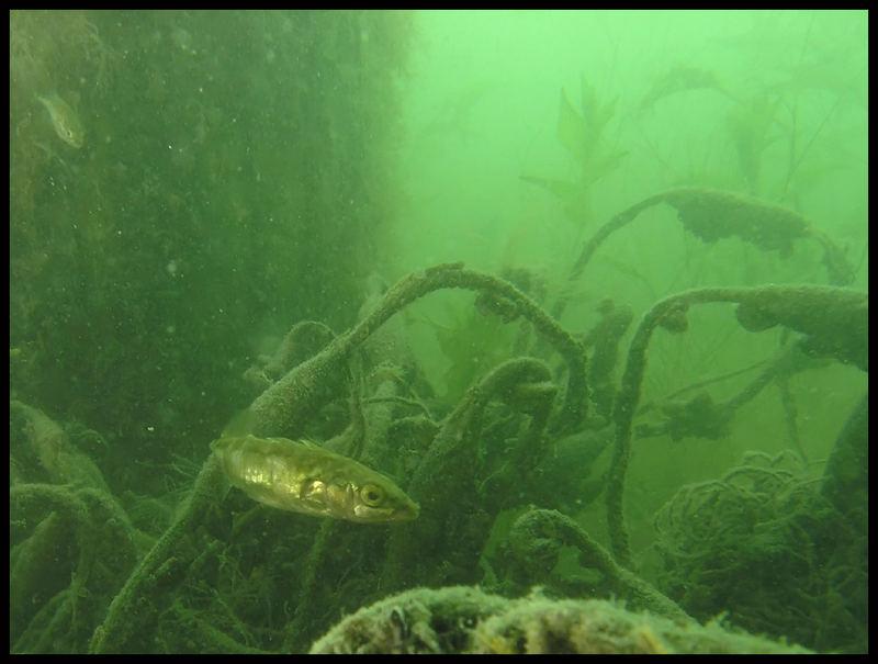 Dreistachliger Stichling mit altem Fischernetz