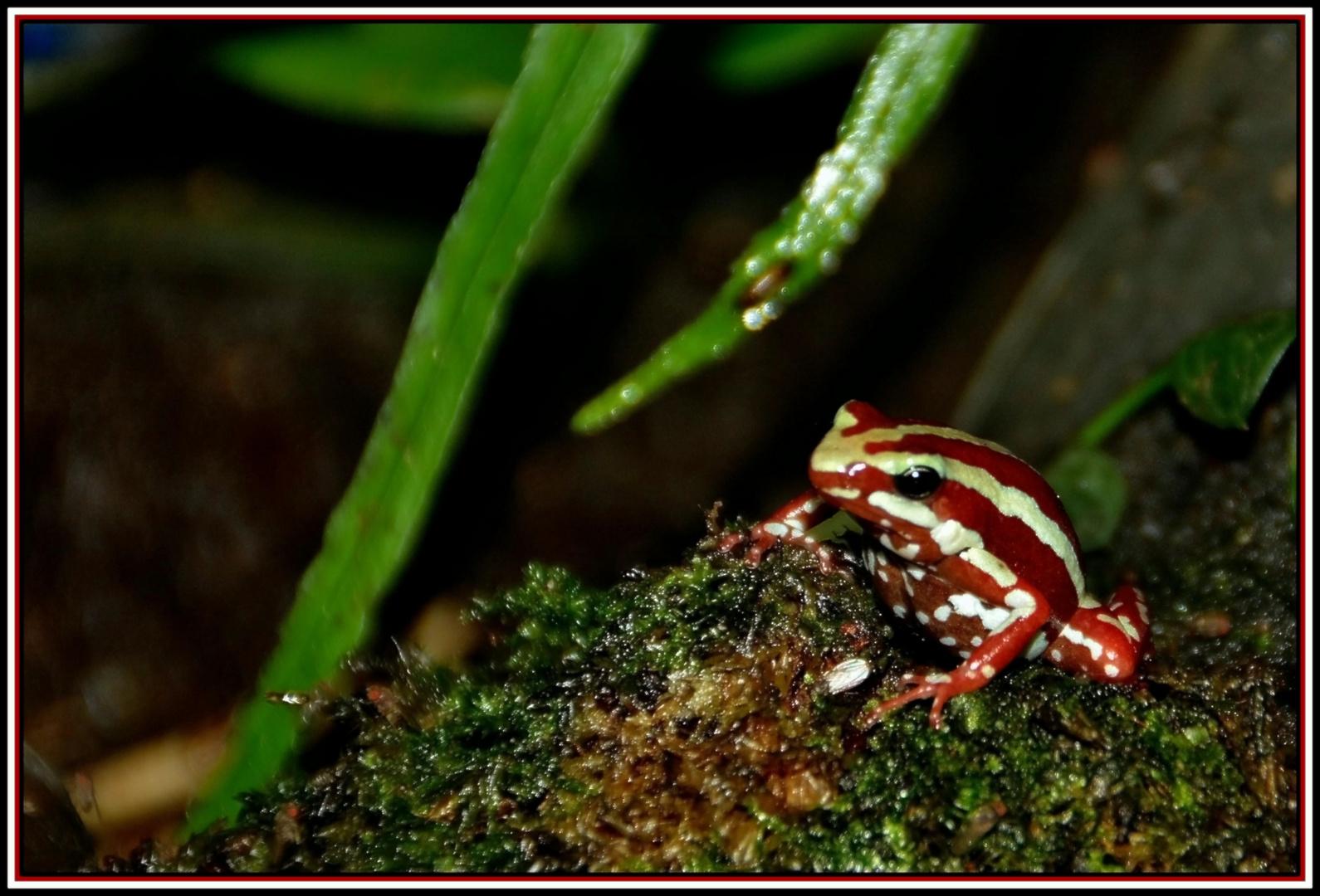 Dreistreifen-Baumsteigerfrosch