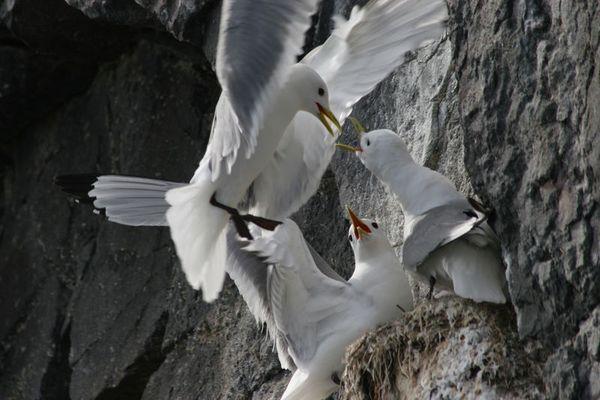 Dreizehentaucher auf Island