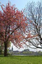 Dresden in voller Blüte