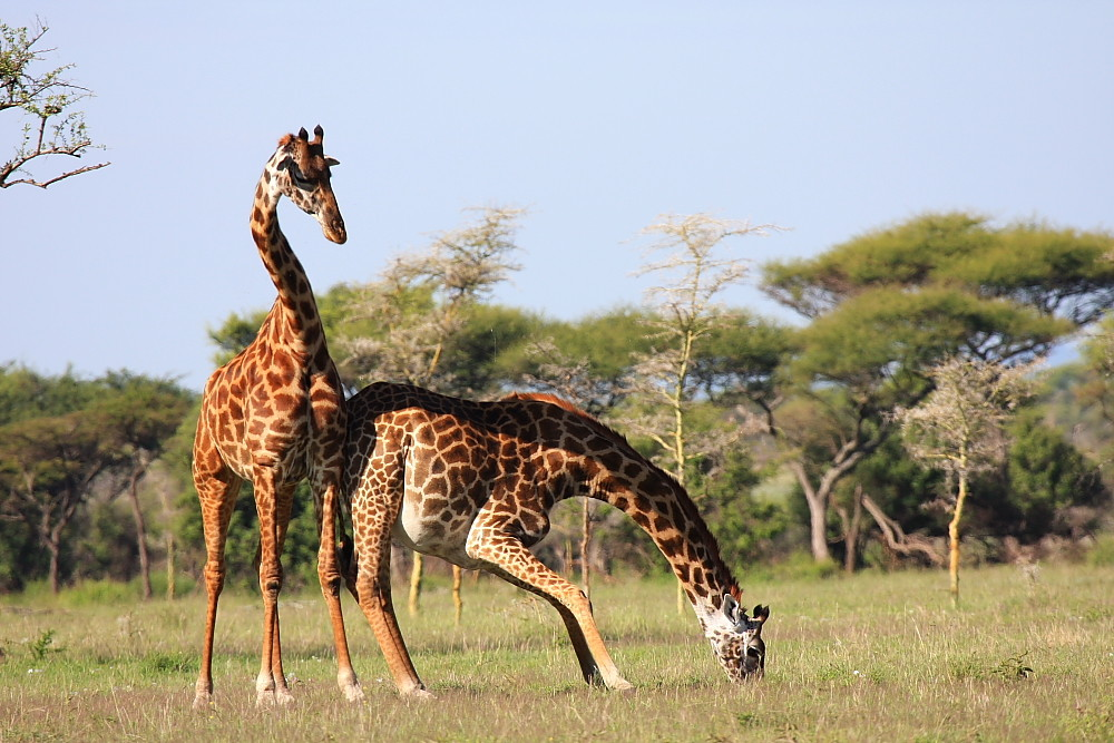 Drinking giraffe.