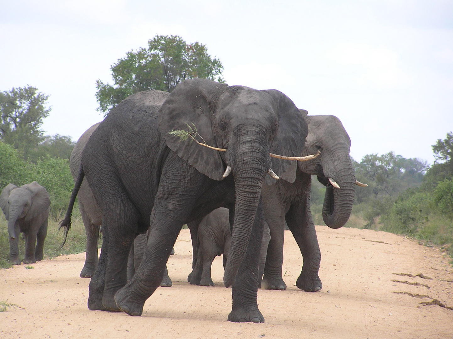 Drohgebärde eines Elefantenjungbullen